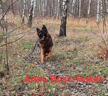 Aron Boss-Haker. Pies wilczasty_1